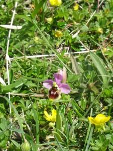 Ophrys scolopax. Escas